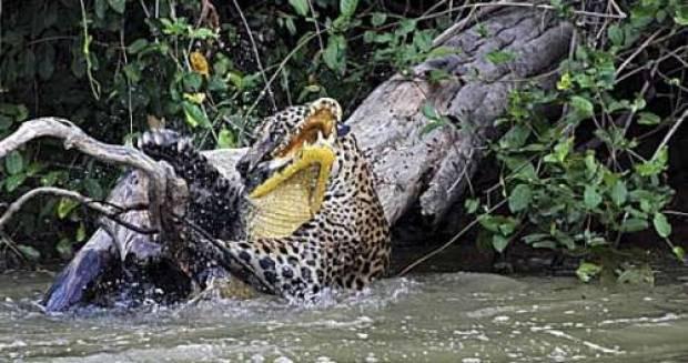 Jaguarın timsah avı - Page 2