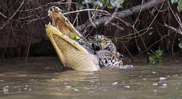 Jaguarın timsah avı - Page 3