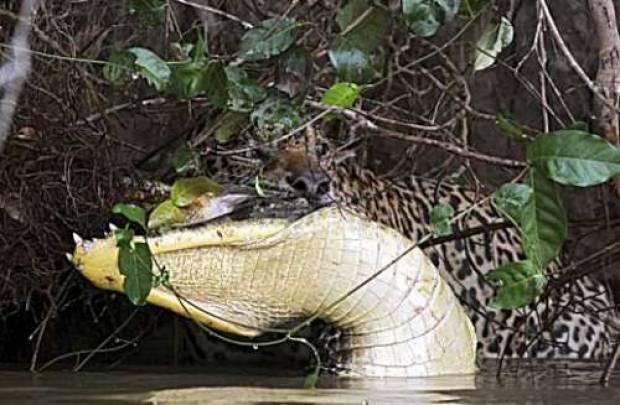 Jaguarın timsah avı - Page 4