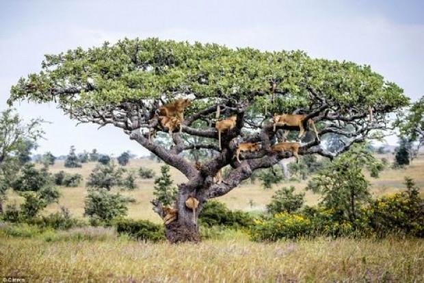 Kaçışı ağaca çıkmakta bulan aslanlar - Page 1