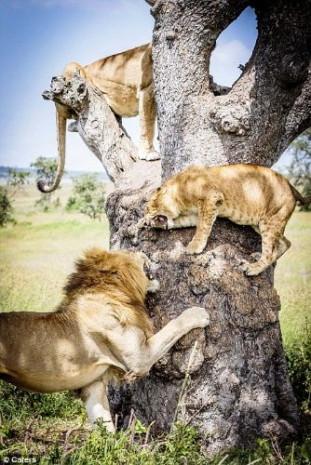 Kaçışı ağaca çıkmakta bulan aslanlar - Page 2