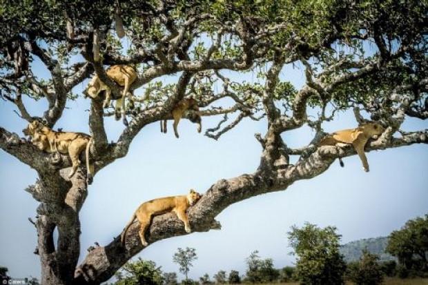 Kaçışı ağaca çıkmakta bulan aslanlar - Page 3