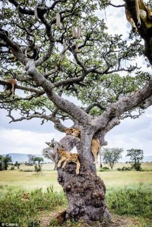 Kaçışı ağaca çıkmakta bulan aslanlar - Page 4