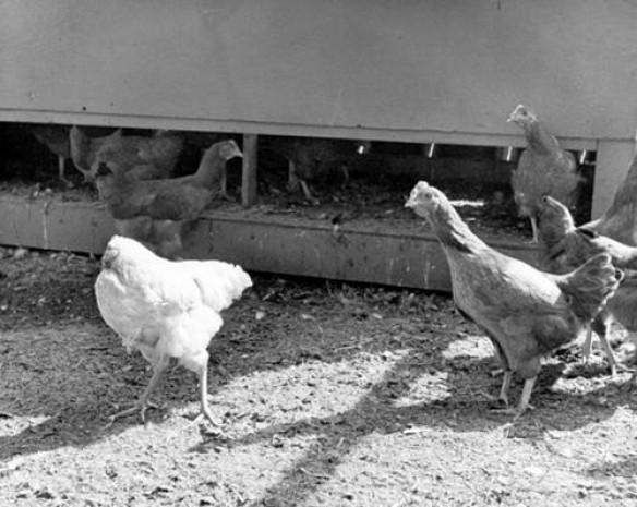 Kafası olmadan 18 ay yaşayan tavuk - Page 1
