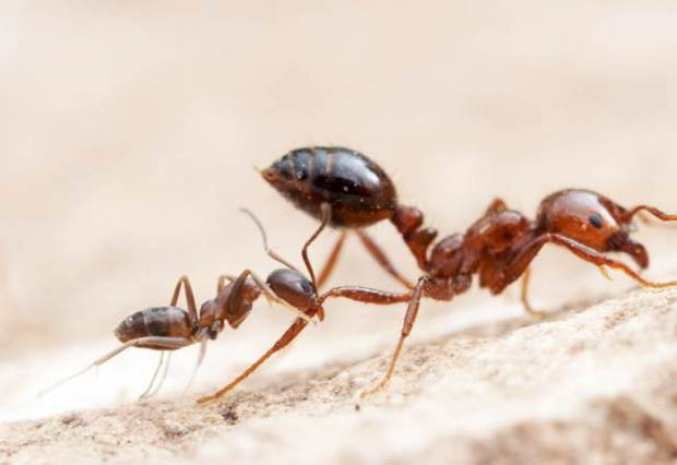 Karıncaların konuşabildiği keşfedildi! - Page 2