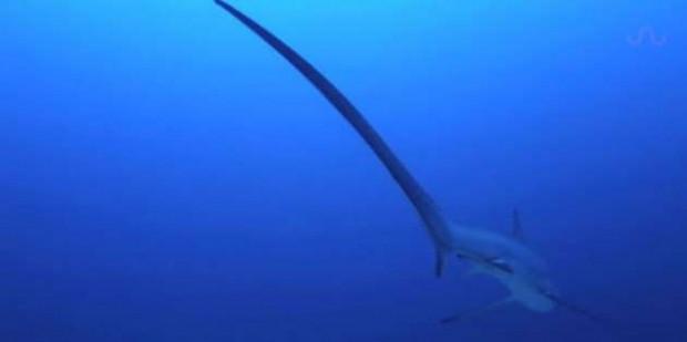 Köpekbalığı ilk defa doğum yaparken görüntülendi - Page 1