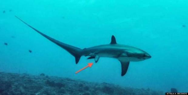 Köpekbalığı ilk defa doğum yaparken görüntülendi - Page 4