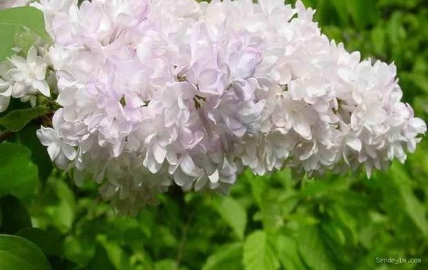 Leylak Çiçeği Resimleri Albümü - Page 2