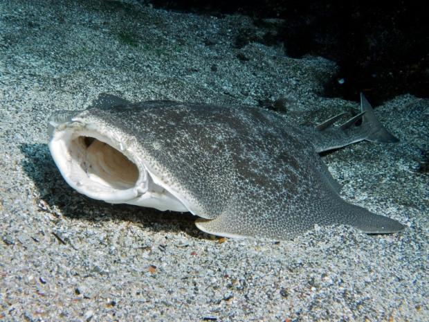 Muhtemelen daha önceden görmediğiniz köpekbalığı türleri - Page 1