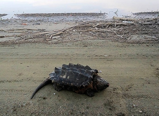 Rusya'da tesadüfen bulunan dinozor benzeri kaplumbağa türünün 4 hayret verici fotoğrafı - Page 4