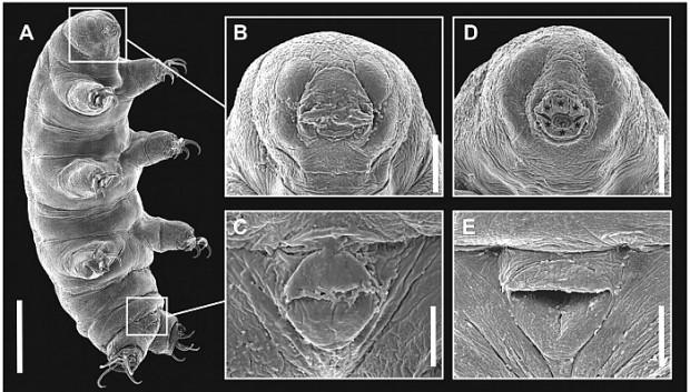 ''Tardigrada'' diğer adlarıyla su ayıları hakkında 7 bilgi - Page 3