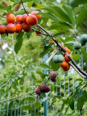 Tüm meyveler tek ağaçta yetişecek! - Page 1