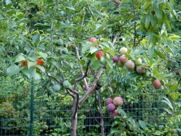 Tüm meyveler tek ağaçta yetişecek! - Page 2
