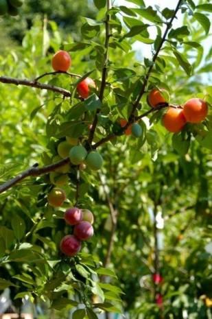 Tüm meyveler tek ağaçta yetişecek! - Page 3