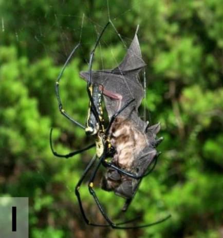 Yarasa yiyen örümcek bulundu! - Page 1