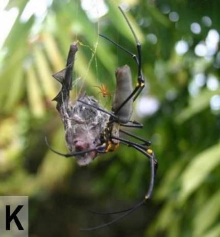 Yarasa yiyen örümcek bulundu! - Page 2