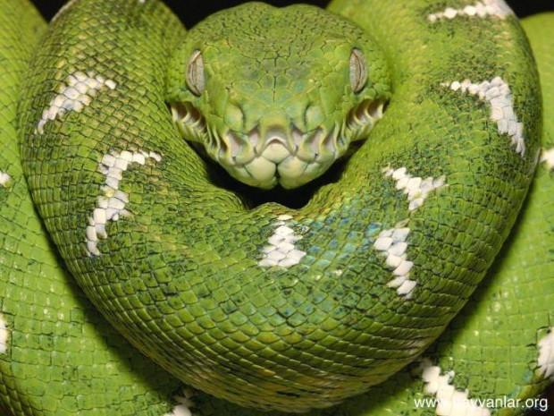 Yılanlar hakkında 10 ilginç bilgi - Page 2