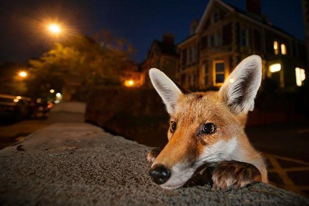 Yılın Vahşi Yaşam Fotoğrafçısı Ödülleri finalistleri - Page 2