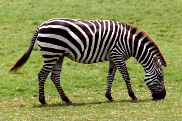 ''Zebra çizgisi''nin gizemi çözüldü! - Page 1