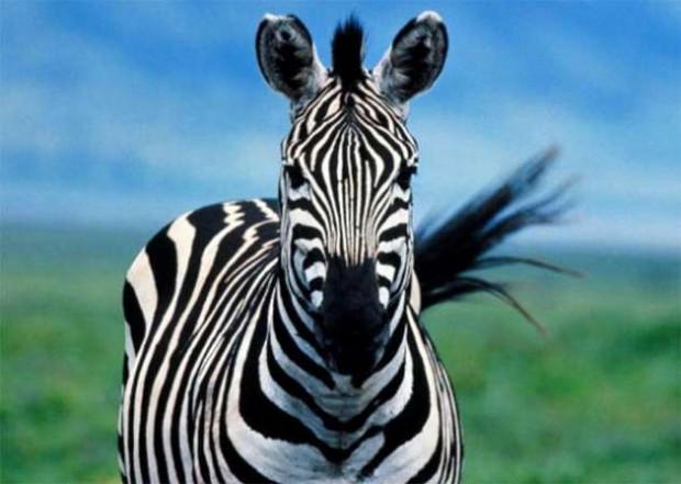 ''Zebra çizgisi''nin gizemi çözüldü! - Page 2