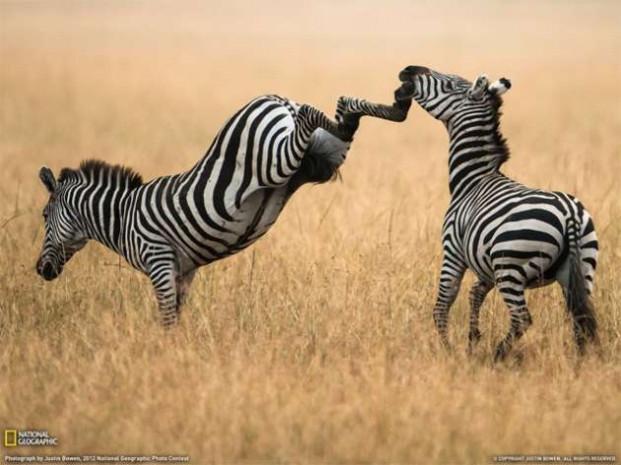 ''Zebra çizgisi''nin gizemi çözüldü! - Page 4