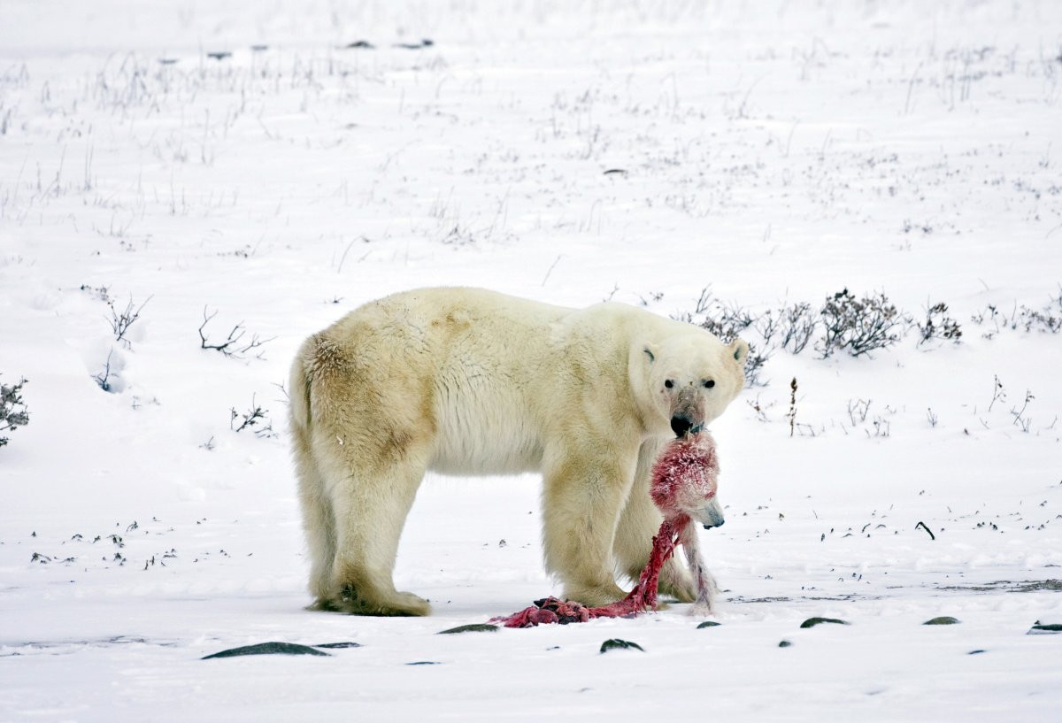 1417178879_melting-ice-is-a-major-problem-because-of-its-contribution-to-sea-level-rise-but-it-also-affects-wildlife-in-all-kinds-of-ways-polar-bears-are-the-poster-child-for-changing.jpg