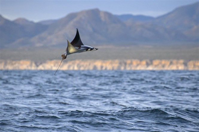 1432731276_and-its-not-just-their-jumping-abilities-that-are-extraordinary-in-a-recent-study-a-team-of-researchers-discovered-that-a-certain-species-of-these-devil-rays-mobula-tarapacana-is-among-the-deepest-diving-o.jpg