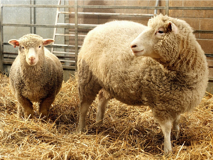 1511777968_dolly-and-polly-genetic-sheep.jpg