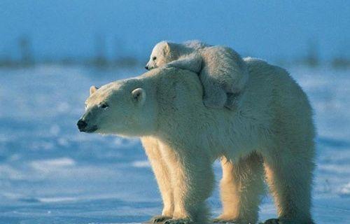 Kutup ayıları Street View teknolojisine merak sardı!