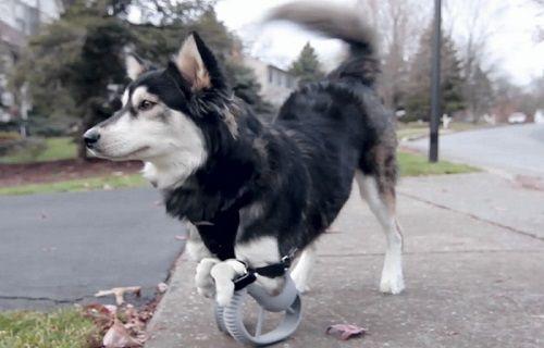 Engelli köpek 3D yazıcı sayesinde koşmaya başladı
