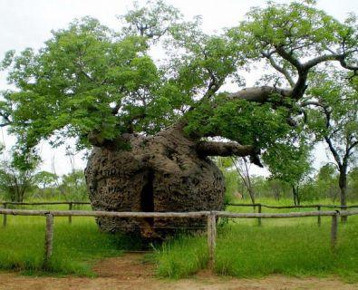Dünyanın en ünlü 15 ağacı
