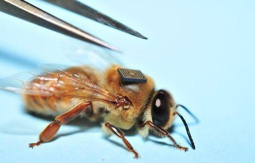 Intel Bal arılarının kitlesel ölüm nedenlerini arıyor!