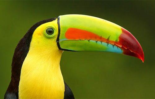 Tukan kuşuna 3D yazıcıyla yeni gaga yapıldı