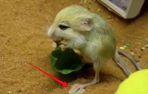 İşte dünyanın en küçük kemirgen hayvanı: Zıplayan sıçan (Video)