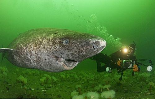 Tam 400 yaşında olan köpekbalığı bulundu!