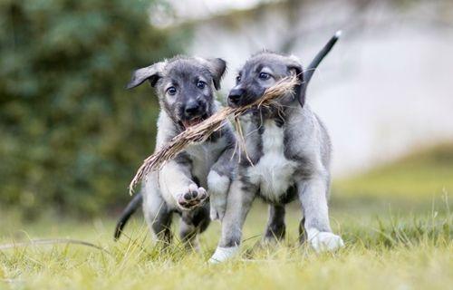 Dünyanın ilk ikiz köpekleri bulundu!
