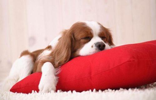 Köpekler de uyurken öğrenebiliyor!