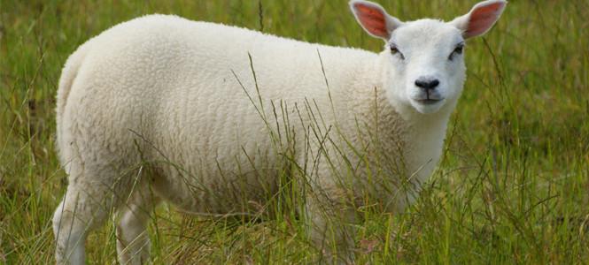 Artık koyunlar da mesaj gönderecek!