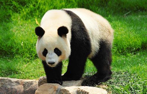 Dev pandalar, artık nesli tehlikede olan türler arasında değil